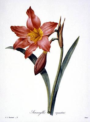 Amaryllis Art Print by Granger