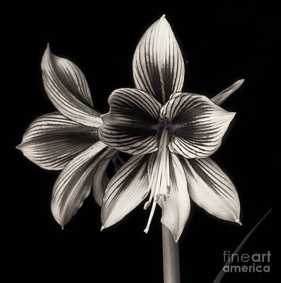 Photograph - Amaryllis 'papilio Improved' by Ann Jacobson