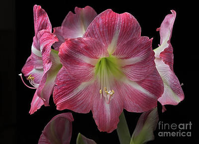 Photograph - Amaryllis 'pink' by Ann Jacobson