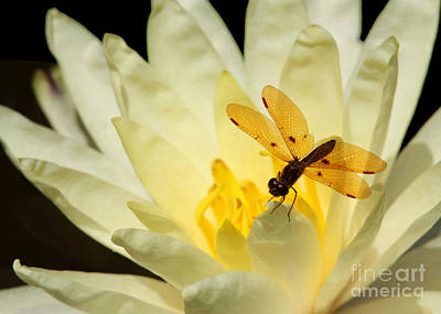 Amber Dragonfly Dancer 2 Art Print by Sabrina L Ryan