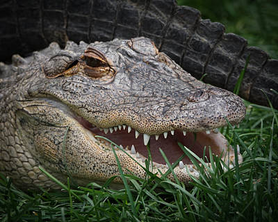 Photograph - American Alligator by Ernie Echols