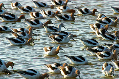 Photograph - American Avocet Flock, San Francisco Bay Nwr, California, Usa by Robert Mutch