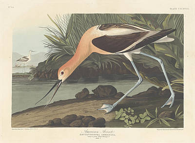 Painting - American Avocet by John James Audubon