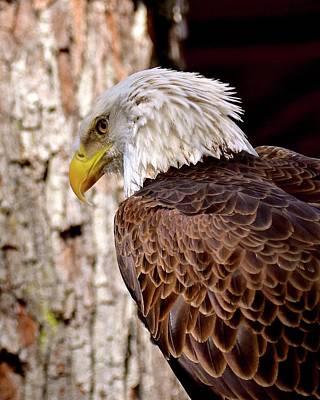 Photograph - American Bald Eagle by Carol Bradley