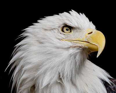 Photograph - American Bald Eagle by Ernie Echols