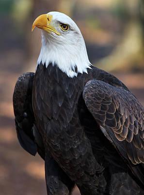 Photograph - American Bald Eagle by Jill Lang