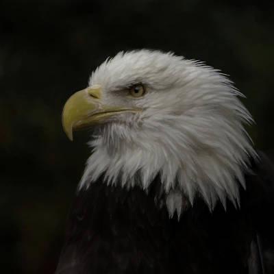 Digital Art - American Bald Eagle Portrait 2 by Ernie Echols
