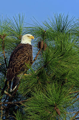 Perched Photograph - American Bald Eagle by Rick Higgins