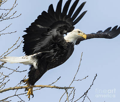 Birding Photograph - American Bald Eagle by Ricky L Jones