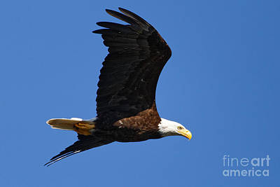 Photograph - American Bald Eagle by Sue Harper
