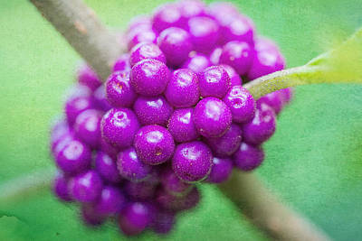 American Beauty Photograph - American Beautyberry by Jon Woodhams