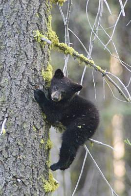 American Black Bear Ursus Americanus Art Print