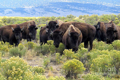 Photograph - American Buffalo Herd by Frank Townsley
