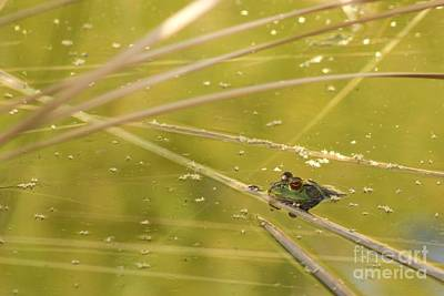 Photograph - American Bullfrog by Sean Griffin