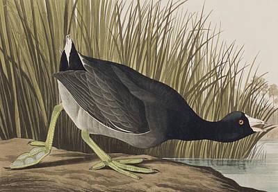 Lake Drawing - American Coot by John James Audubon
