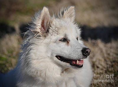 Photograph - American Eskimo by Savannah Gibbs