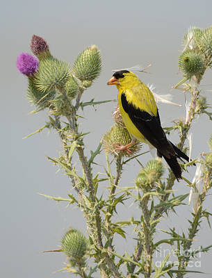Photograph - American Goldfinch by Charles Owens