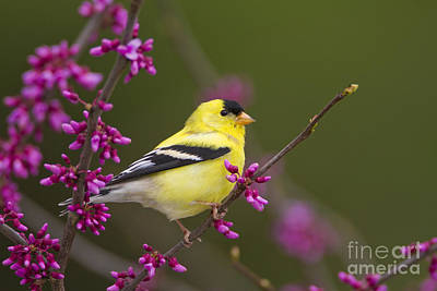 Cercis Canadensis Photograph - American Goldfinch In Redbud by Marie Read