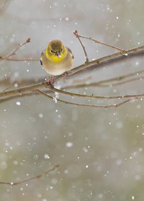 Photograph - American Goldfinch In Winter by Melinda Fawver