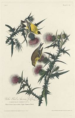 Audubon Drawing - American Goldfinch by Dreyer Wildlife Print Collections