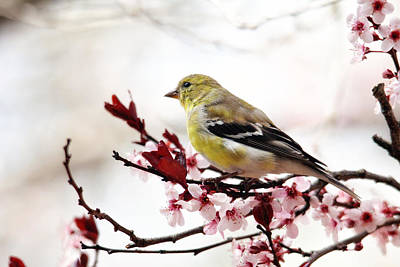 Photograph - American Goldfinch In Spring by Trina Ansel
