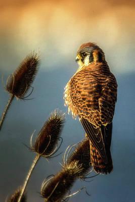 Photograph - American Kestrel by Craig Strand