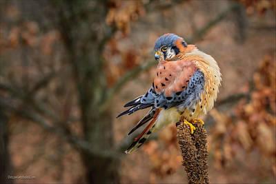 Photograph - American Kestrel by LeeAnn McLaneGoetz McLaneGoetzStudioLLCcom