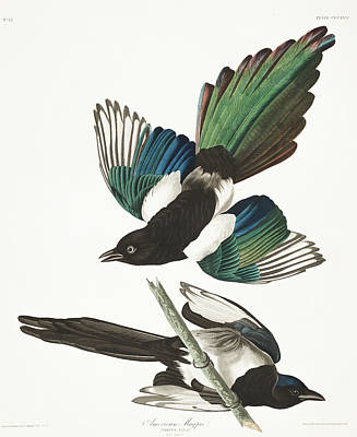 Magpies Wall Art - Painting - American Magpie by John James Audubon