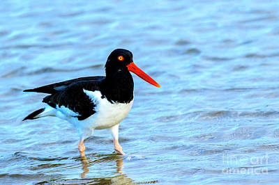 Photograph - American Oystercatcher by Ben Graham