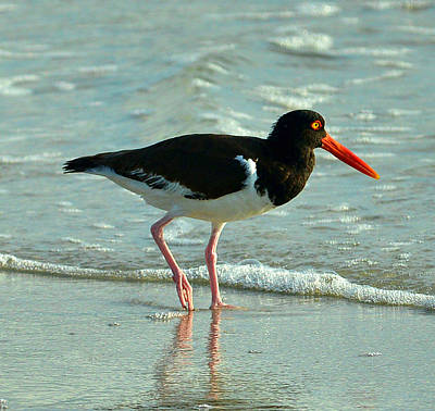 Photograph - American Oystercatcher by Dana Sohr