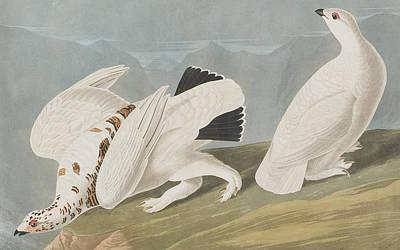 Sky Blue Drawing - American Ptarmigan by John James Audubon