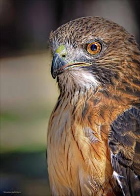 Hawk Photograph - American Red Tail Hawk by LeeAnn McLaneGoetz McLaneGoetzStudioLLCcom