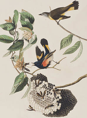 Insects Drawing - American Redstart  by John James Audubon