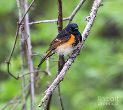 Photograph - American Redstart  by Ricky L Jones