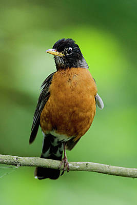 Photograph - American Robin by Craig Strand