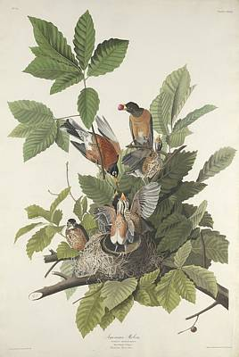 Robin Drawing - American Robin by Dreyer Wildlife Print Collections