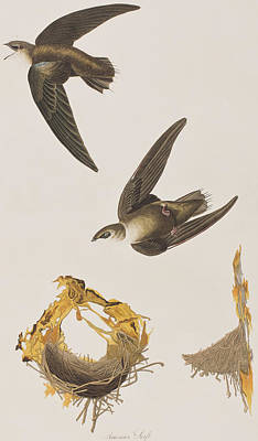 Swooping Drawing - American Swift by John James Audubon