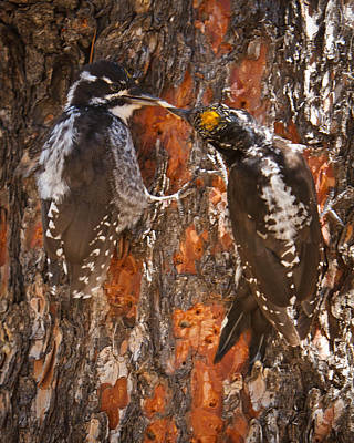 Picoides Photograph - American Three-toed Woodpecker by Carl Jackson