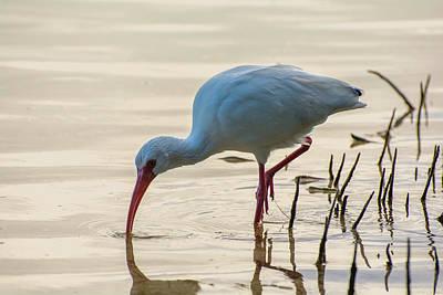 Photograph - American White Ibis  by Manuel Lopez