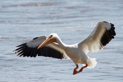 Photograph - American White Pelican by Corey Haynes