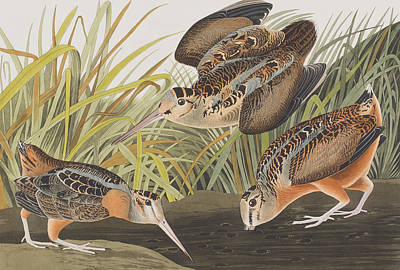 Woodcock Painting - American Woodcock by John James Audubon