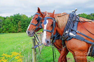 Photograph - Amish Horses In Harness by David Arment
