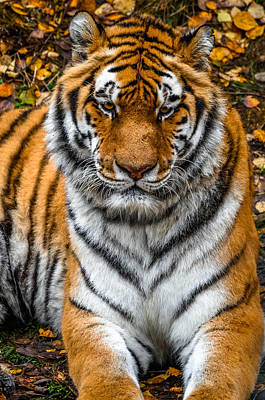 Photograph - Amur Tiger  by Brian Stevens