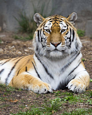 Siberian Tiger Photograph - Amur Tiger by Twenty Two North Photography
