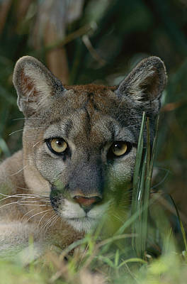 An Alleged Florida Panther. Owner Frank Art Print by Michael Nichols