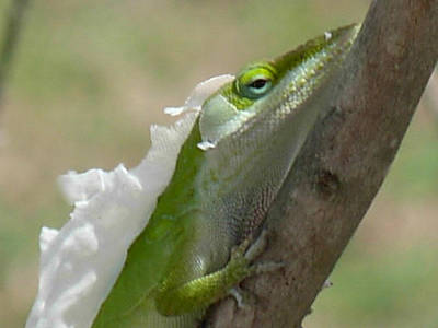 Photograph - An Anole Shedding Its Skin by Jeanne Kay Juhos