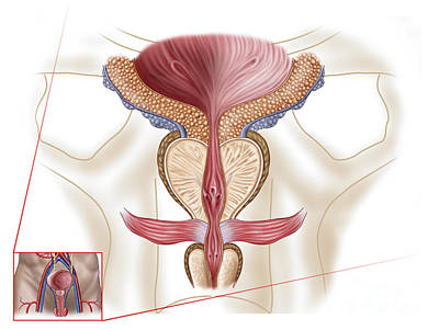 Sex Digital Art - Anatomy Of Prostate Gland by Stocktrek Images