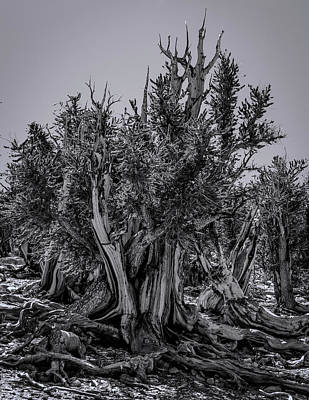 Photograph - Ancient Bristlecone Pine by Roland Peachie