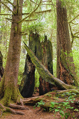 Photograph - Ancient Forest by John M Bailey