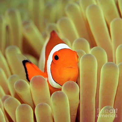 Undersea Photograph - Anemone And Nemoish. by MotHaiBaPhoto Prints